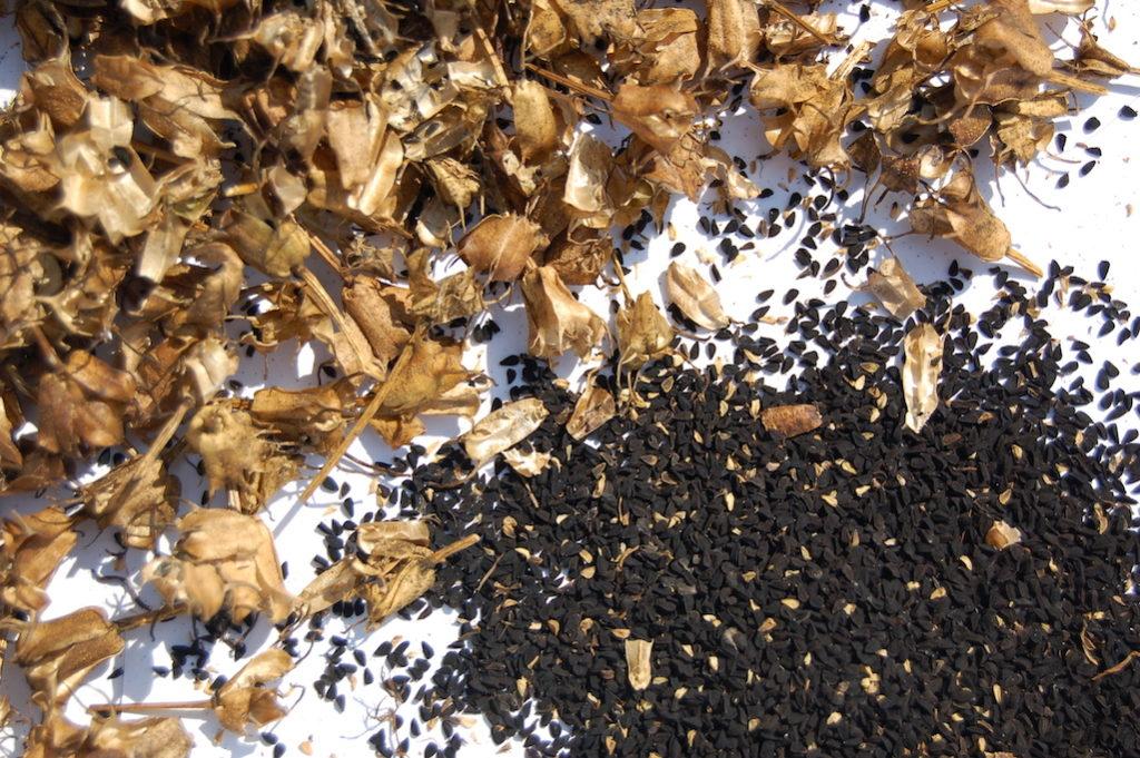 Nigella sativa seed pods and black seeds